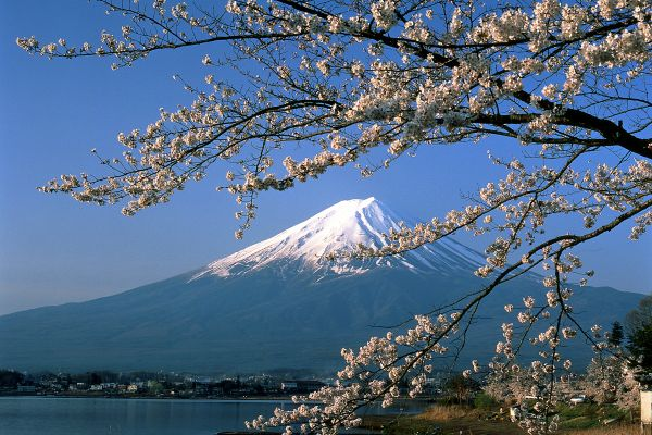 View of Mount Fuji through a tree filled with cherry blossom
